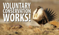 Volutary Conservation Works for Greater Sage-Grouse thumbnail