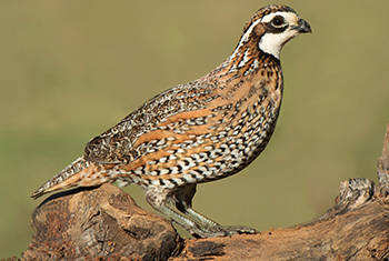 Picture of a quail