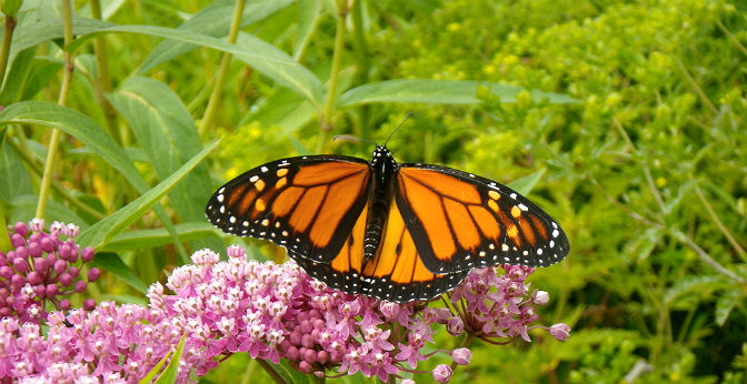 Monarch butterfly resting on pink flowers (Swamp milkweed, Asclepias incarnata)
