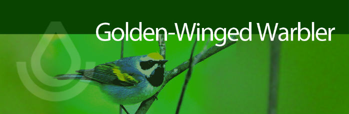 Working Lands For Wildlife banner, Golden Wingled Warbler