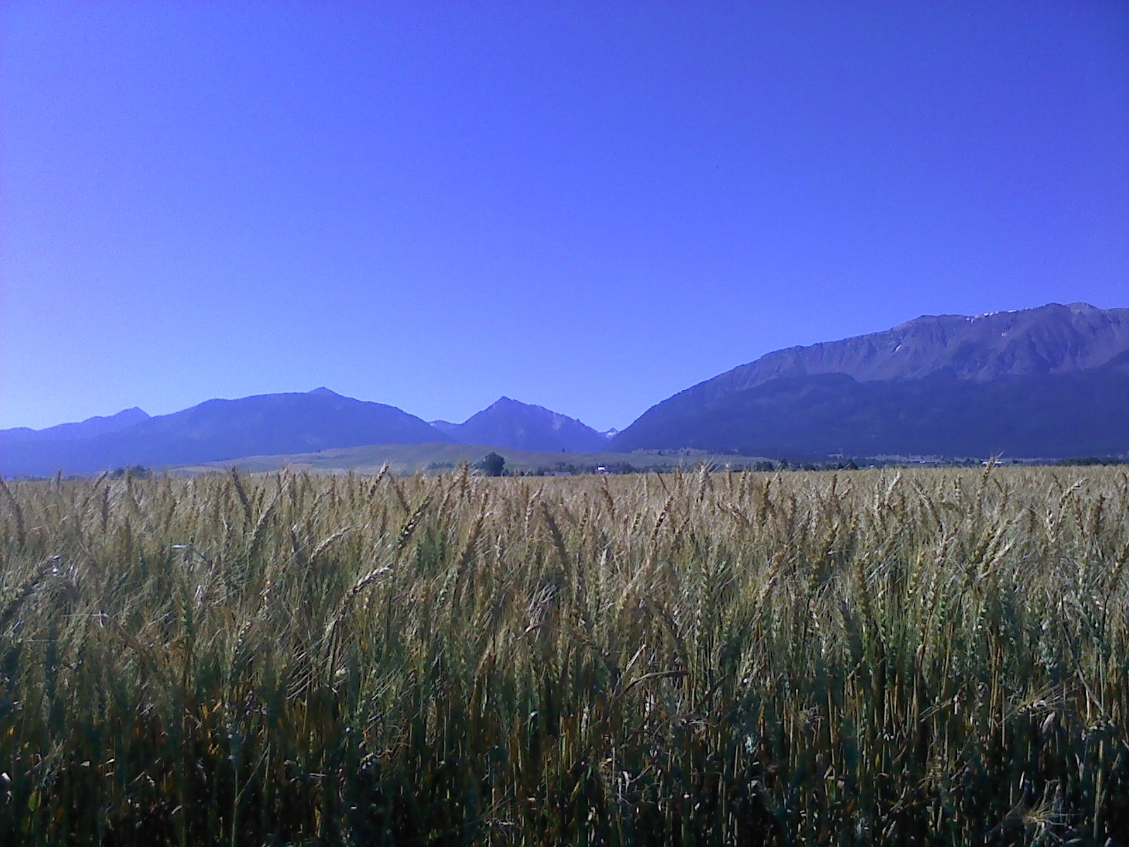 Wheat_wallowa