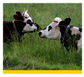 Small image of prescribed grazing linking to more detailed information on this practice.