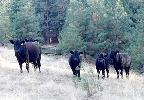 cattle_500pixels