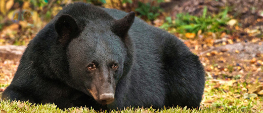 The Louisiana black bear's current range is in Louisiana and Mississippi along the Mississippi and Atchafalaya rivers.