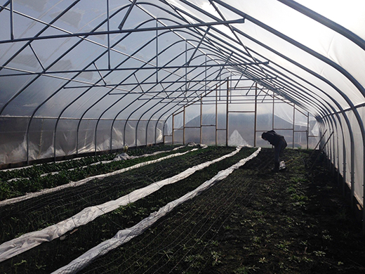 Shayna Lewis examines the winter greens growing inside her high tunnel.