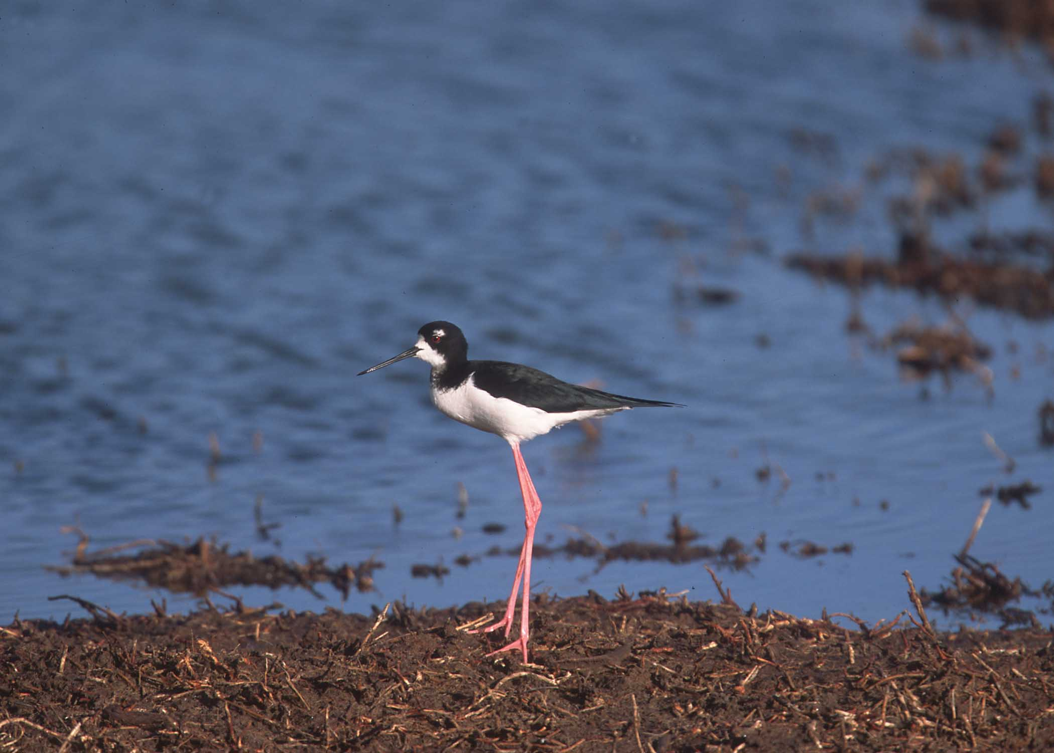 Shore bird with long slender red legs wading along a wetland shoreline
