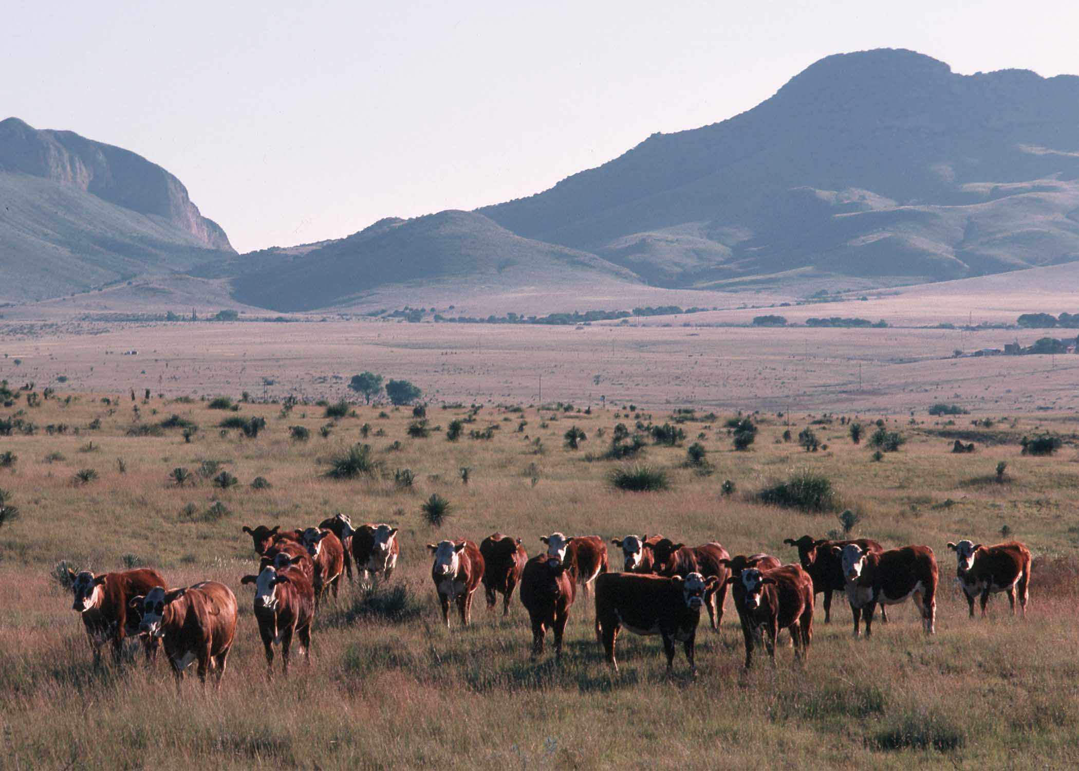 Brown cattle in foreground, all looking towards camera, with mountains in background.