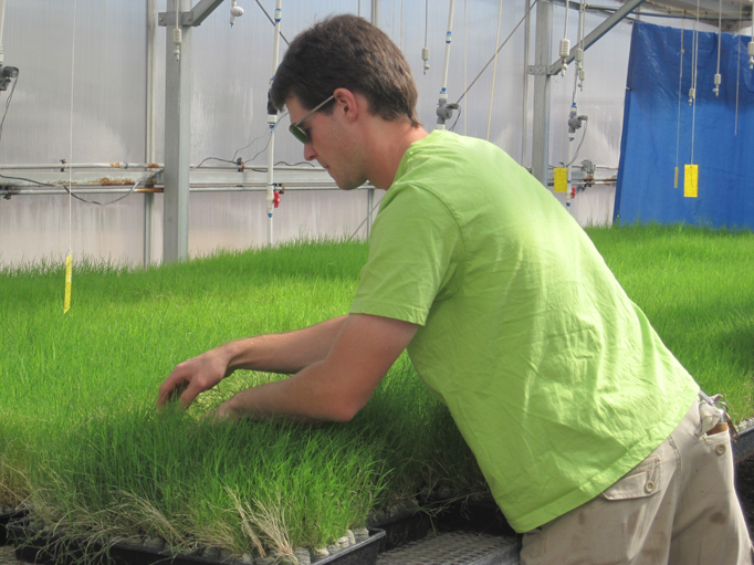 Biological Science Technician tending native grasses in greenhouse.