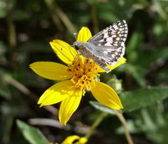 Orange Zexmenia with Common Checkered Skipper Butterfly