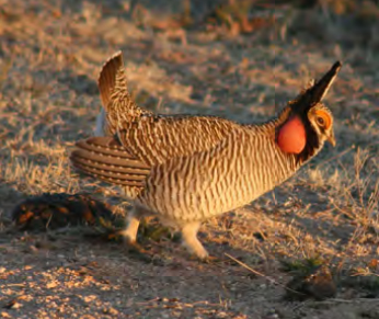 Lesser Prairied-Chicken