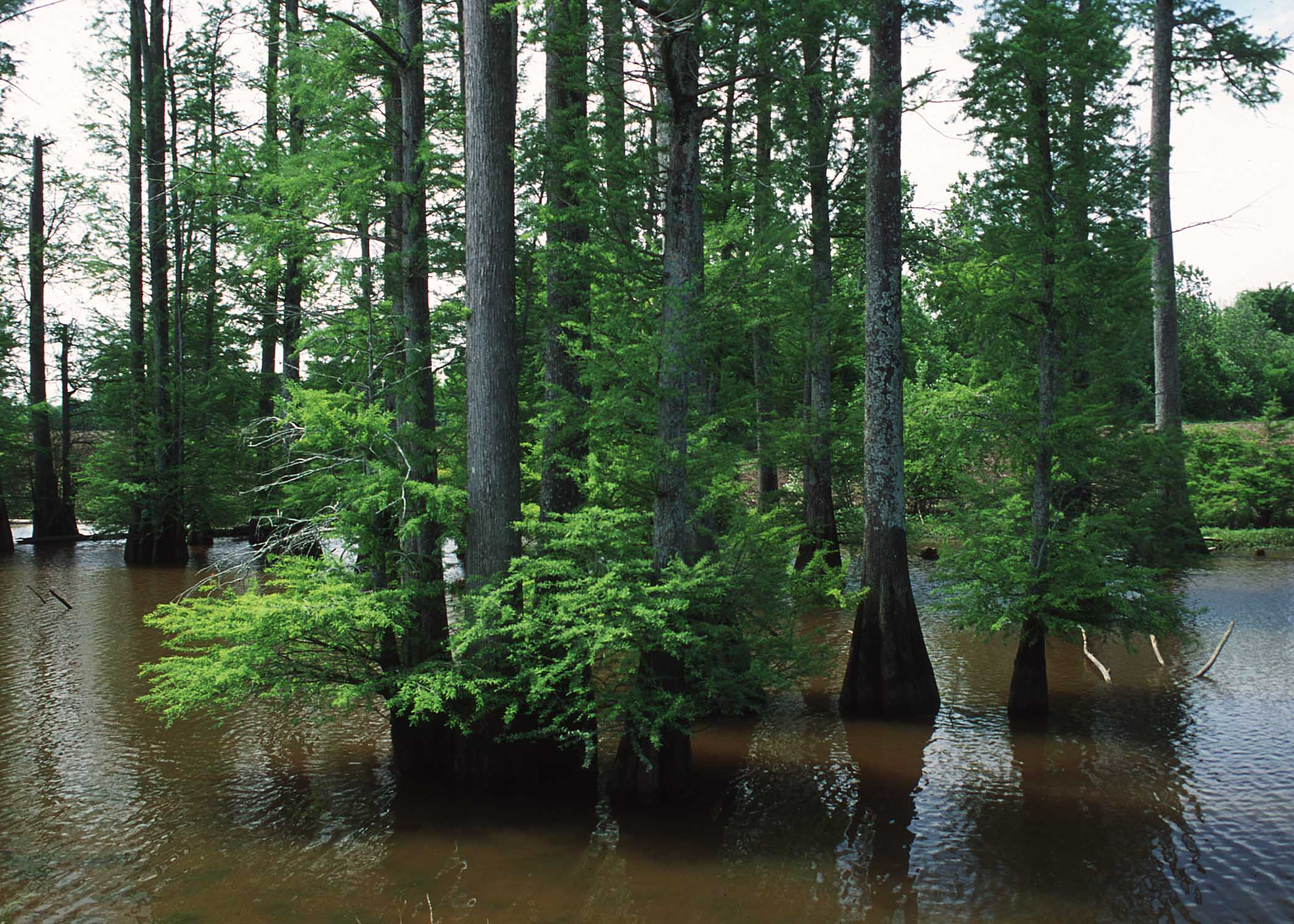 Remnant of a cypress/tupelo wetland in an oxbow in central Mississippi. The land is entered into the Wetlands Reserve Program.