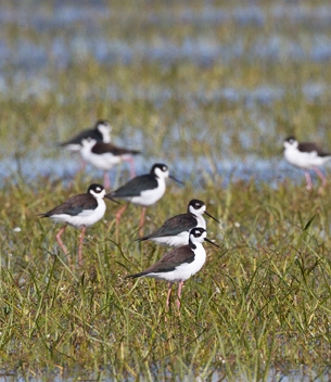 GOMI birds on Wetland