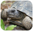 Thumbnail of Gopher tortoise