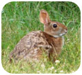 Thumbnail of Northeast Cottontail