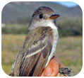 Thumbnail of SW Willow Flycatcher