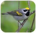 Thumbnail of Golden-Winged Warbler