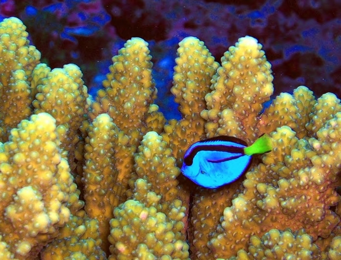 Coral and a pacific blue tang