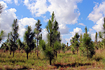 Longleaf Pine Forest in Texas