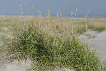 In the eastern United States 'Cape' American beachgrass is widely used to stabilize dunes that prote