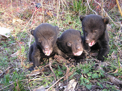 The Wetlands Reserve Program have helped populations of the Louisiana black bear increase in MS.