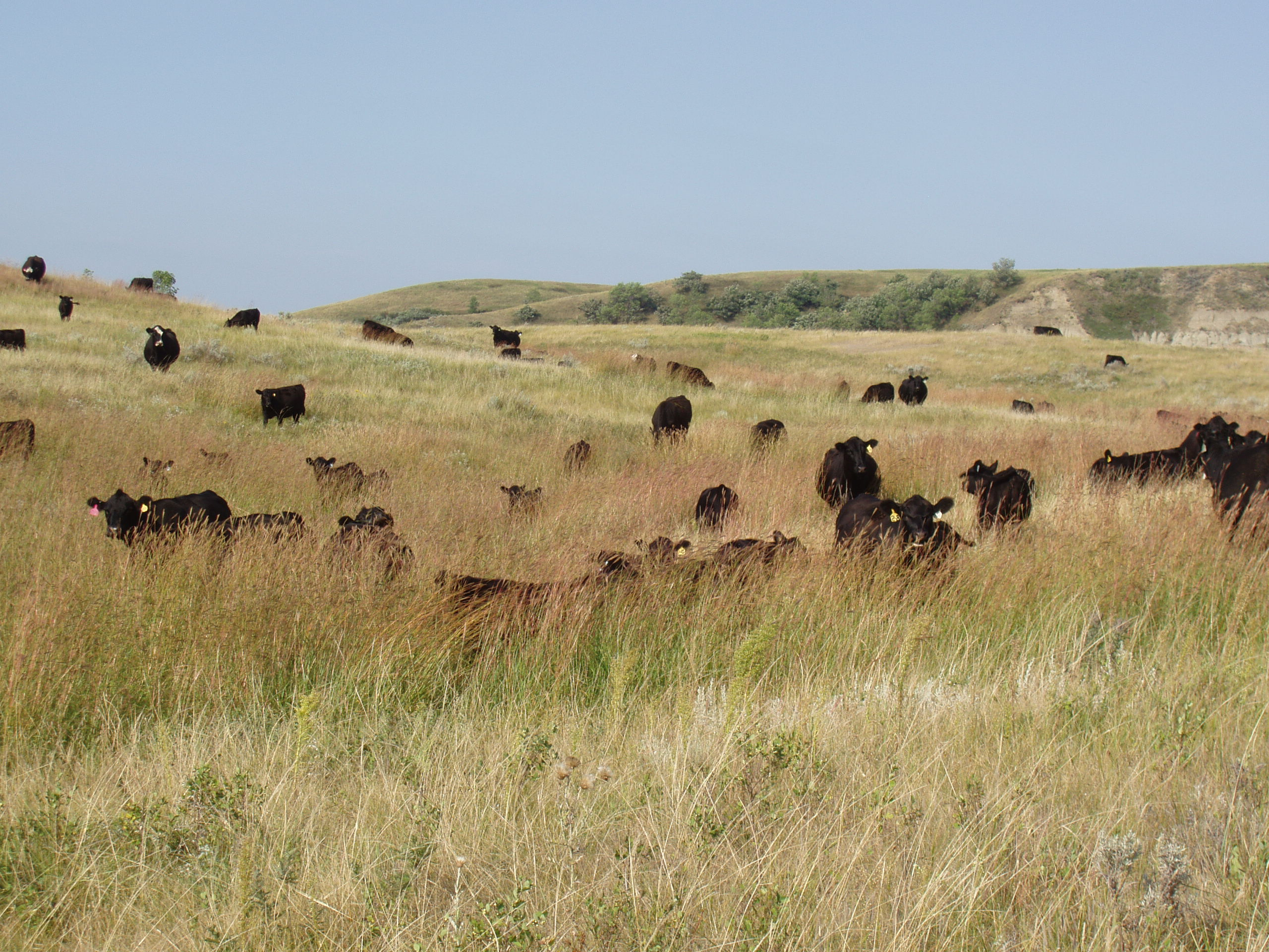 picture of cattle grazing in a pasture