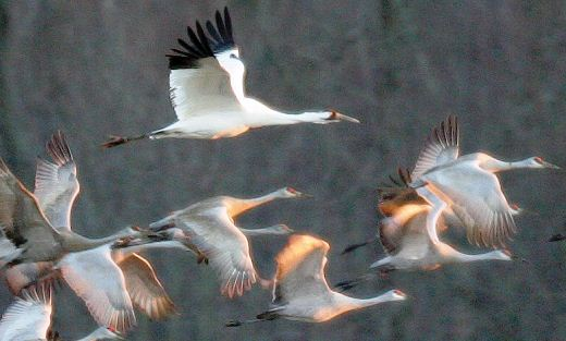 Whooping Cranes in Flight  - Credit: Mark Trabue