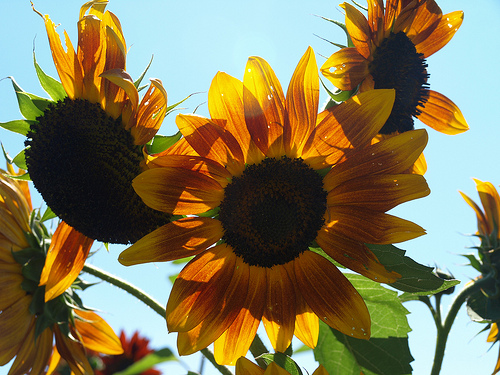 Annual sunflowers are now grown in New Jersey by local farmers to supply NJ Audubon's annual sale.