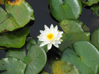 A water lily.
