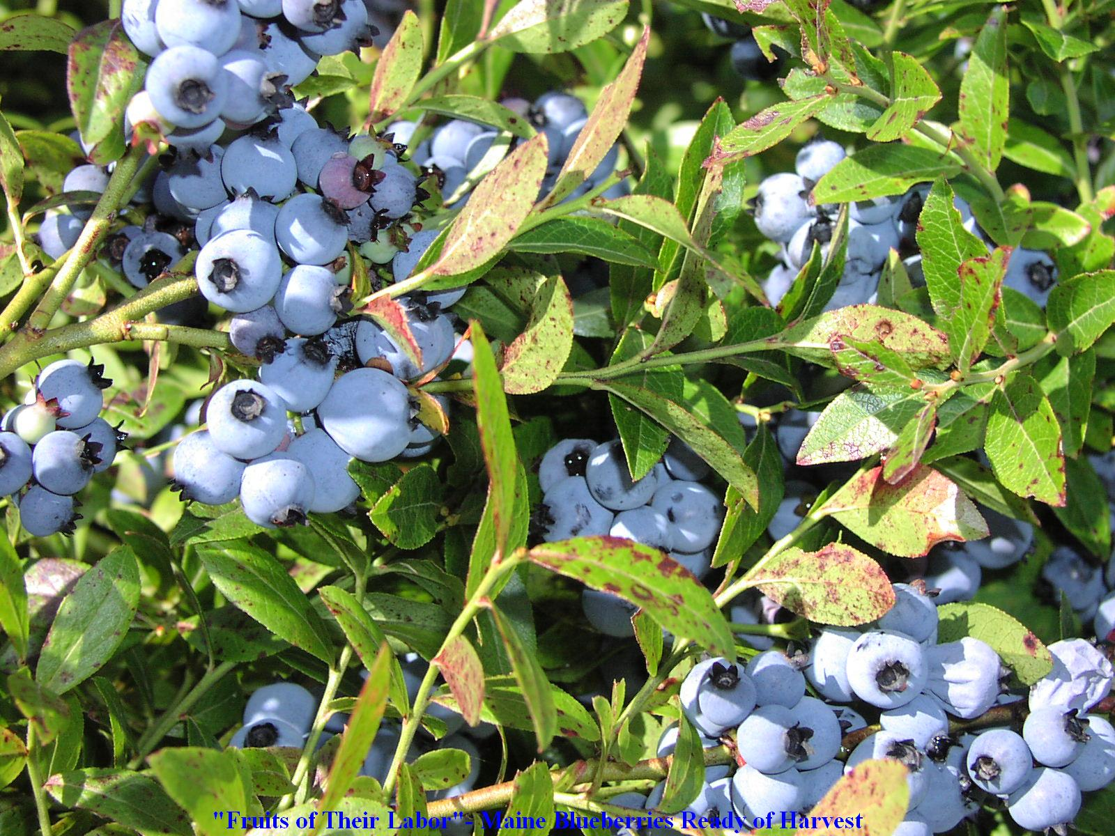Blueberries Ready for Harvest