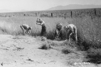 Collecting pappusgrass (pappaphorum mucronulatum) north of Sahuarita, AZ for transplants in 1937.