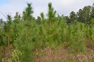 Simon Winston has approximately 150 acres enrolled in the national Longleaf Pine Initiative.