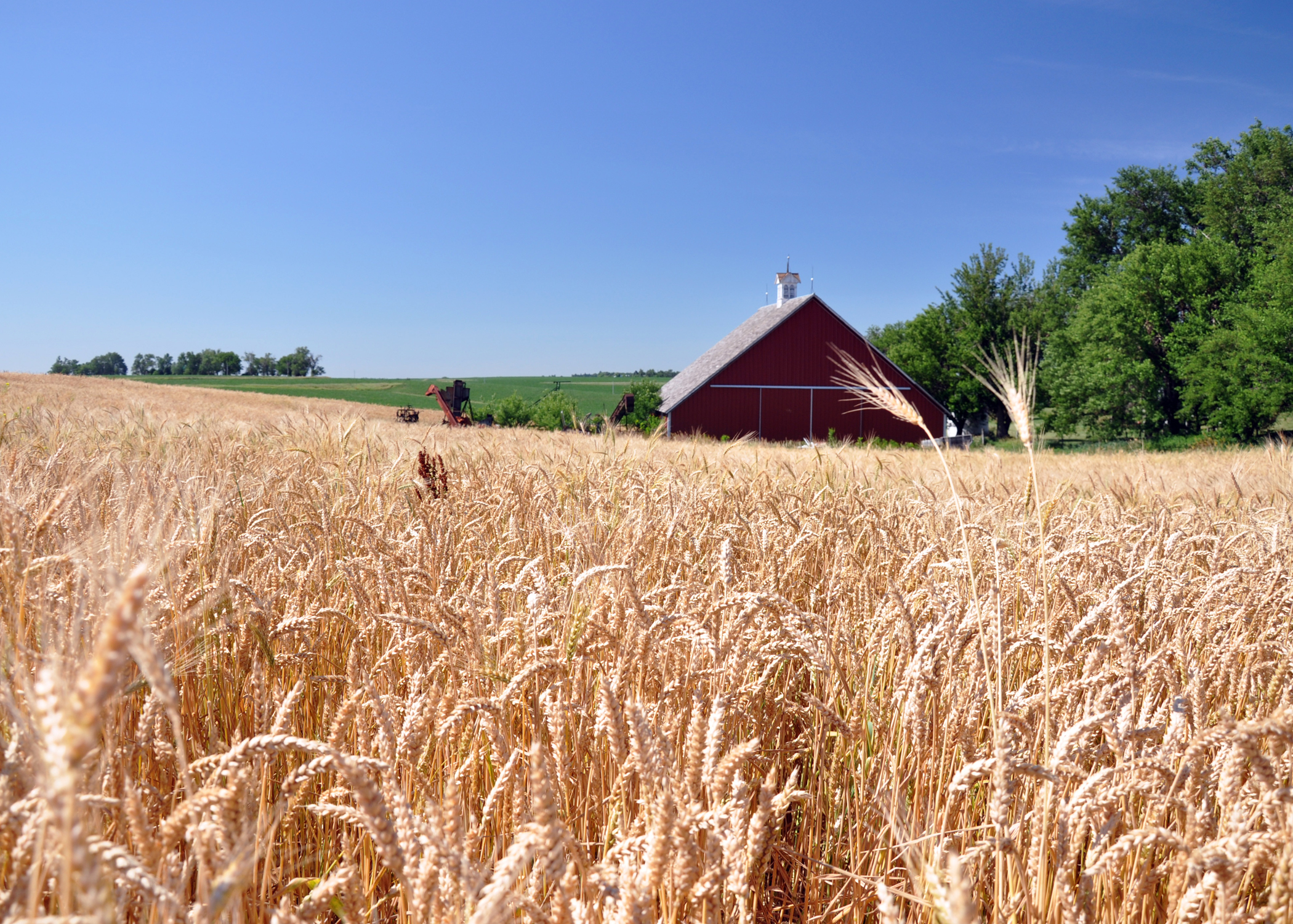 Wheat is ready for harvest on a southwest Iowa farm.