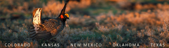 Farmers and ranchers are doing their part to voluntarily protect and improve habitat for an iconic western bird while improving the land and their operations.