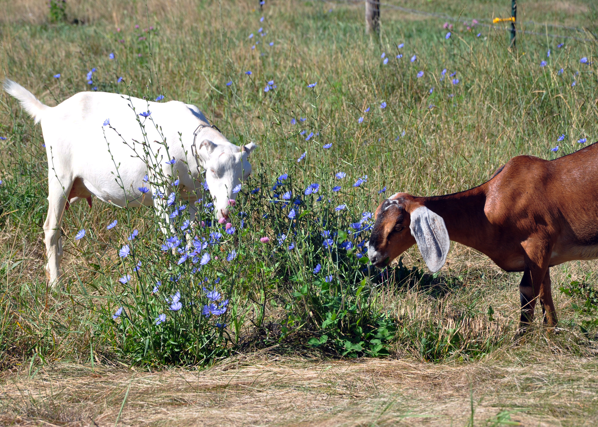 Goats graze on Dallas County organic farmer Rick Hornsby's acreage in 2012.