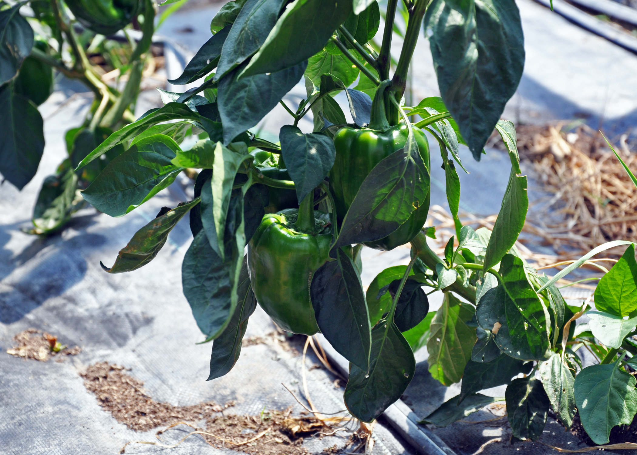 Green peppers growing in an Iowa seasonal high tunnel for crops in 2012.