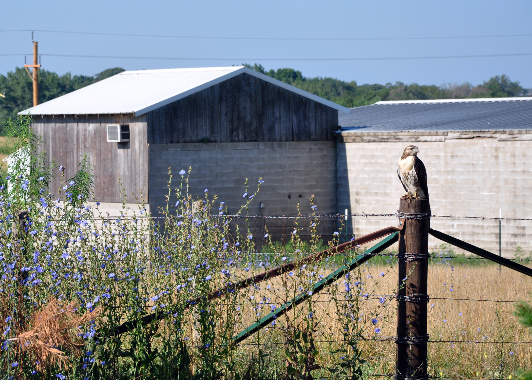 A hawk sits atop a fence post at a Dallas County acreage.