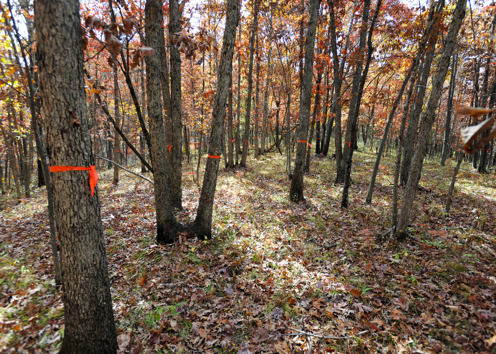 Good trees are marked on Clarke County woodlands. Brush/trees around marked trees will be cut down.
