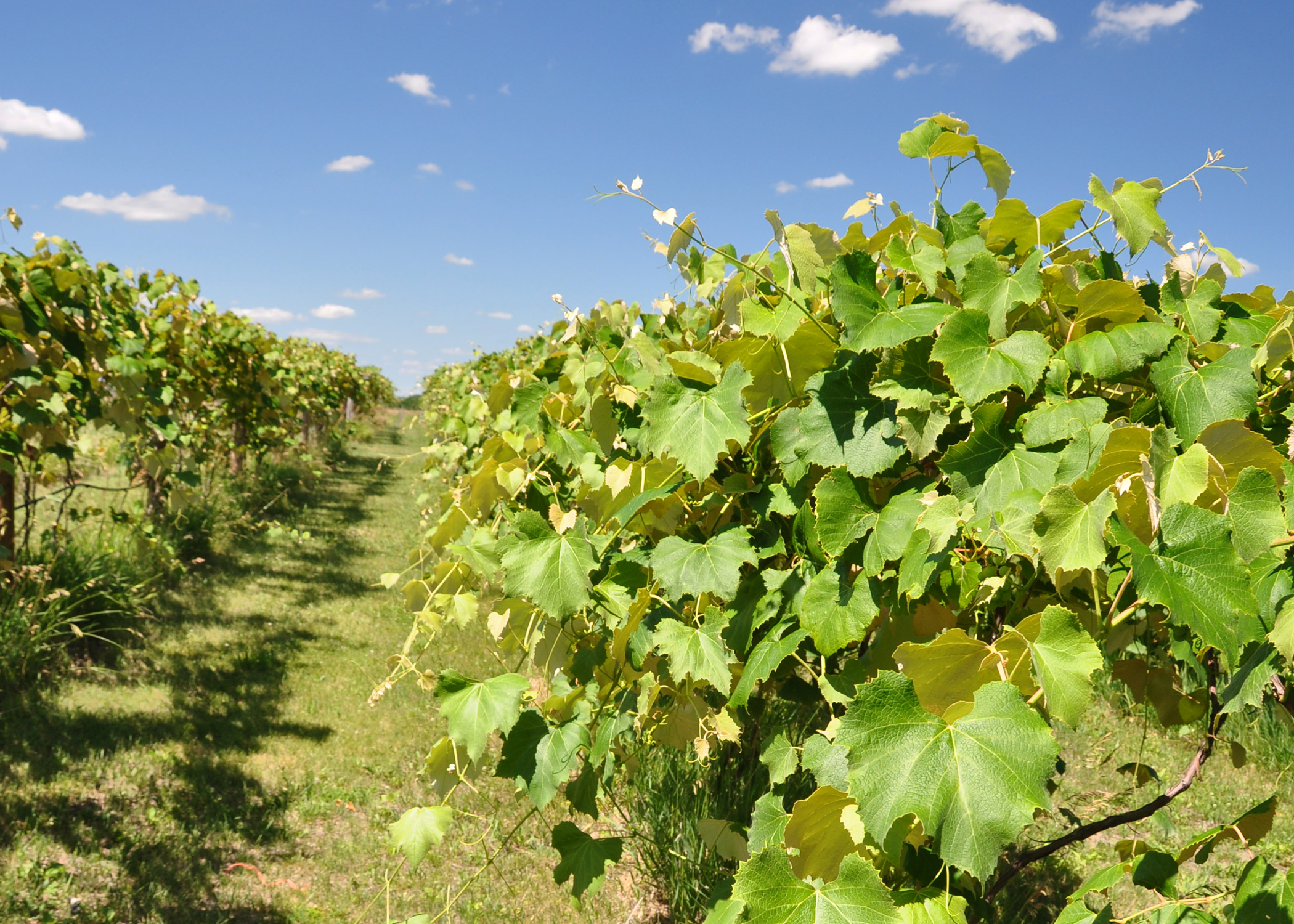Despite drought conditions, grapes were growing well on this Warren County vineyard.