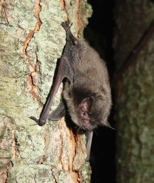 The Indiana bat is quite small, weighing only one-quarter of an ounce