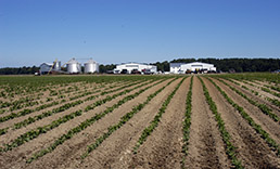 Dry conditions on Eastern Shore crop field
