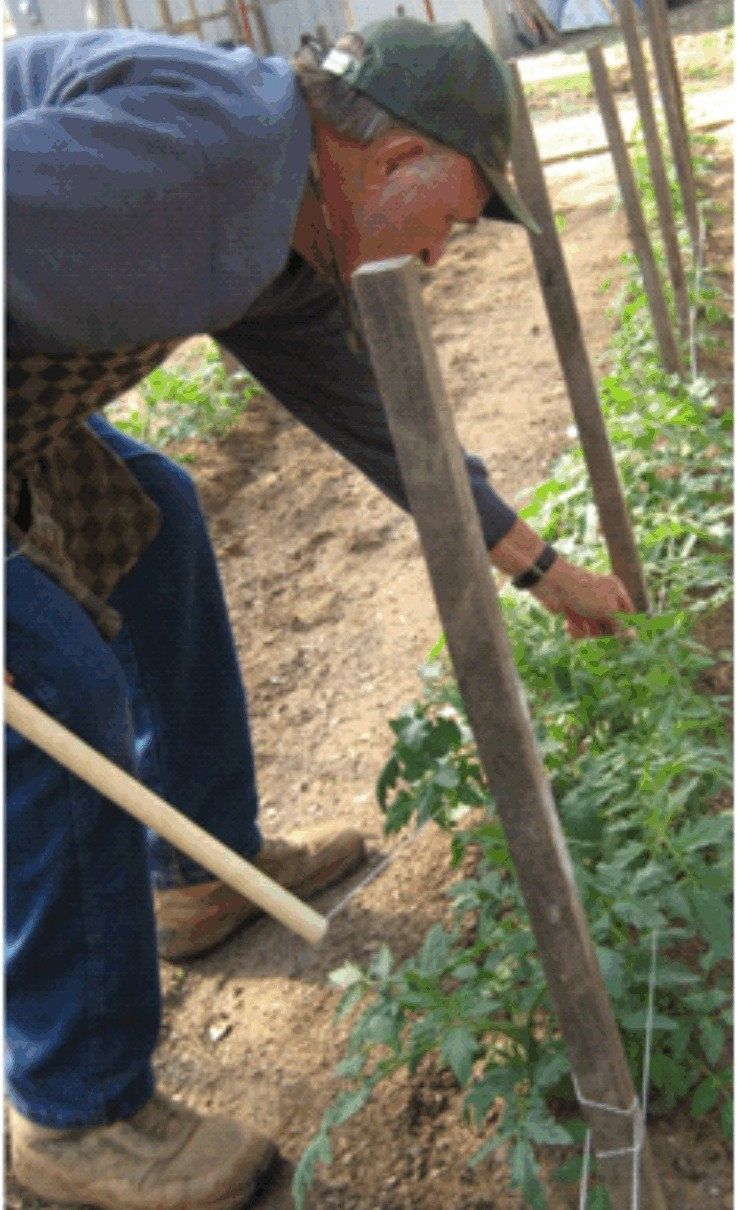 Keel demonstrates staking tomato plants