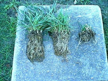 Root growth related to grass height