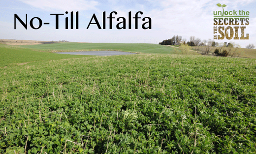 Alfalfa hay grows into winter wheat residue.