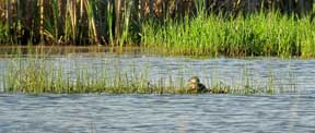 A Pied-billed Grebe is seen nesting in a wetland conserved under the NRCS WRP program