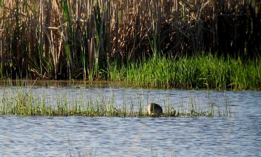 A Pied-Billed Grebe seen nesting in a wetland protected under the NRCS Wetland Reserve Program