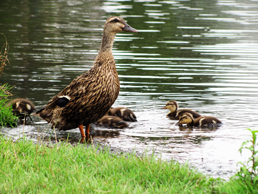 A duck and ducklings.