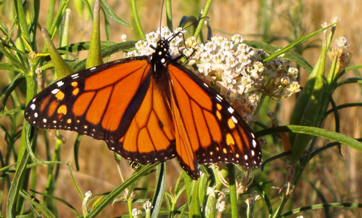Great Basin PMC partners with the Xerces Society for Invertebrate Conservation. Monarch butterfly on narrow-leaved milkweed.