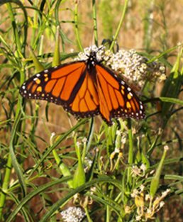 Monarch butterfly on narrow-leaved milkweed.