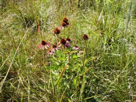 Purple Coneflower planted with other species in the field border in Harrison County.