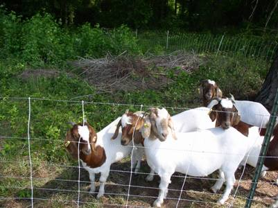 Goats in a fence